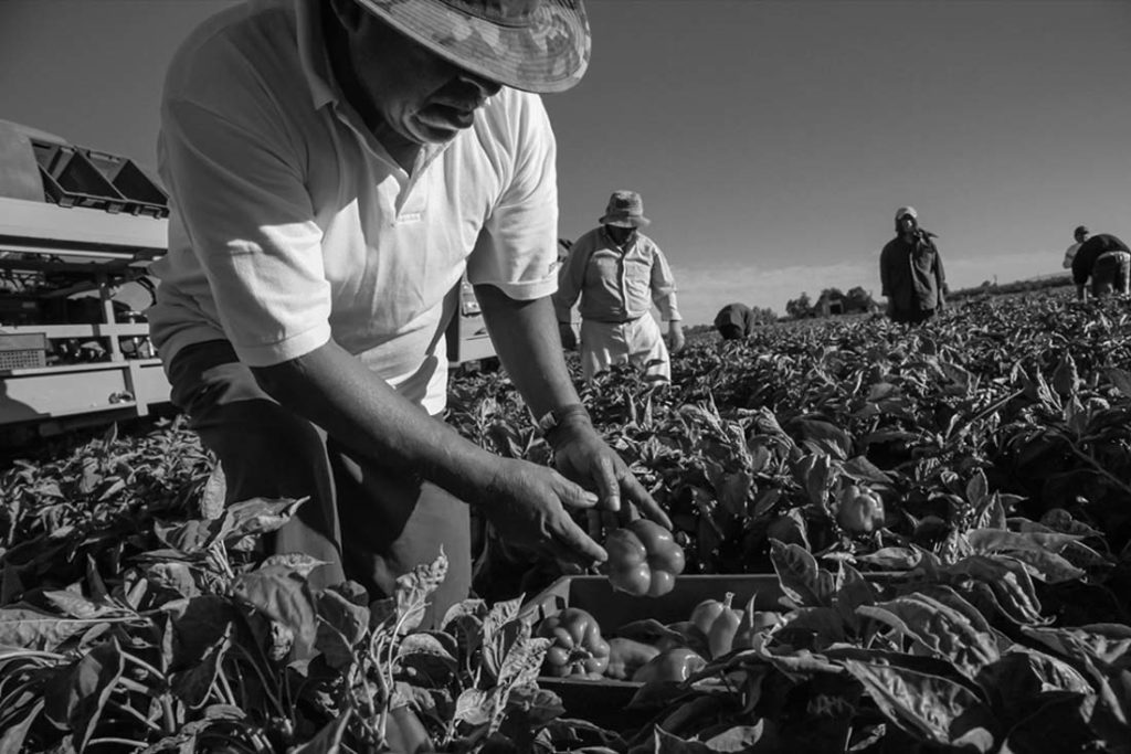Hermilo Lopez, a Mixtec immigrant from San Juan Mixtepec, Oaxaca, works in a crew picking bell peppers near Fresno. He's 69 years old. David Bacon photo