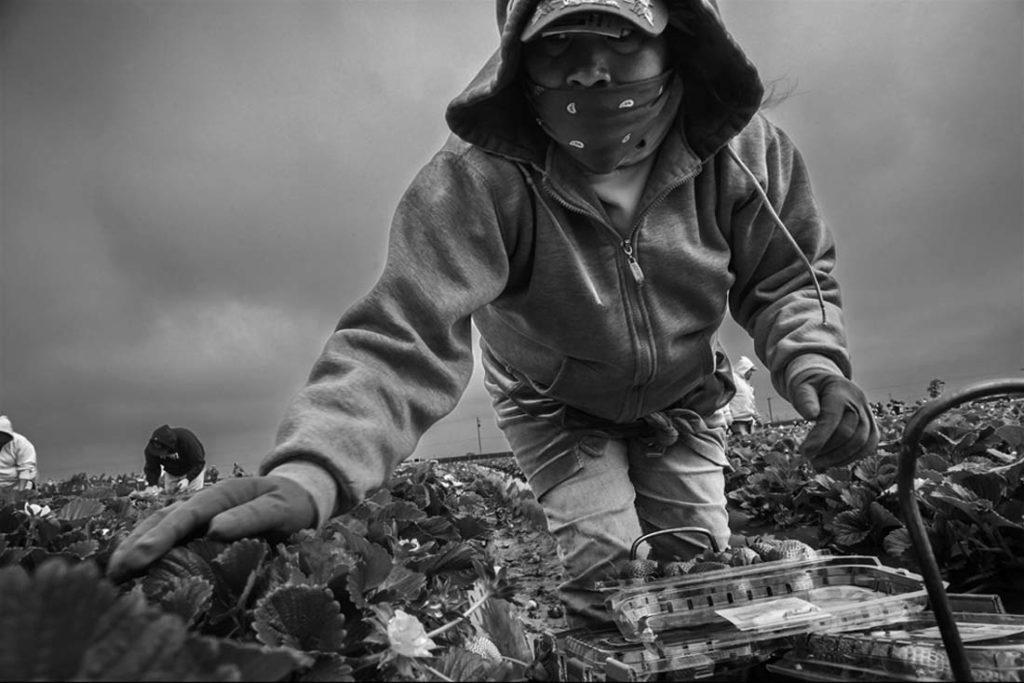 Hieronyma Hernandez works in a crew of indigenous Oaxacan farm workers picking strawberries in a field near Santa Maria. David Bacon photo