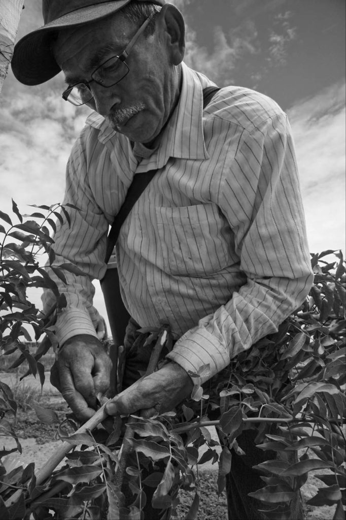Lucas Carina, the oldest and most experienced worker in a crew of farm workers grafting pistachio trees in an orchard near Caruthers, a small town in the San Joaquin Valley. David Bacon photo